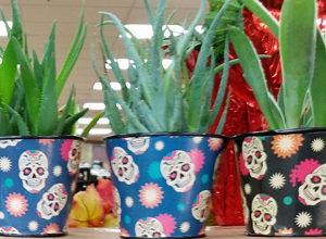 Trader Joe's Sugar Skull Air Plants
