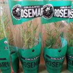 Trader Joe's Organic Rosemary Plant