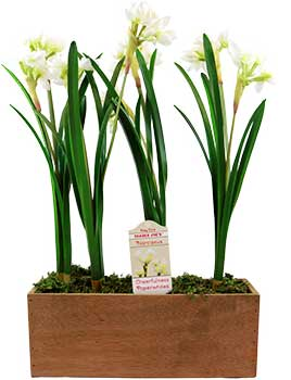 Trader Joe's Narcissus Table Box Flowers