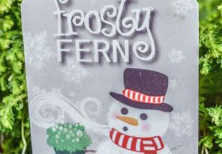 Trader Joe's Frosty Fern Plants