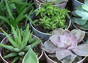 Trader Joe's Succulents