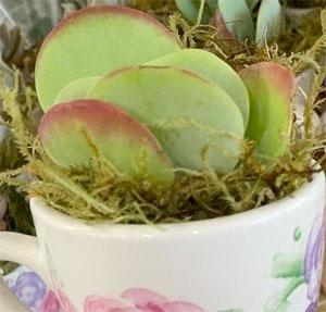 Trader Joe's Tea Cup Succulent